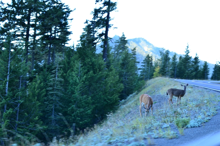 Wildlife, deer, on the road up to hurricane ridge in Olympic National Park
