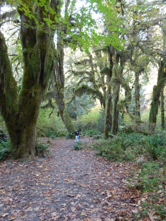 Huge moss covered trees in the Hall of Mosses, Hoh Rainforest, Olympic National Park