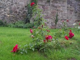Roses at Sleeping Beauty Castle, Dornröschenschloss