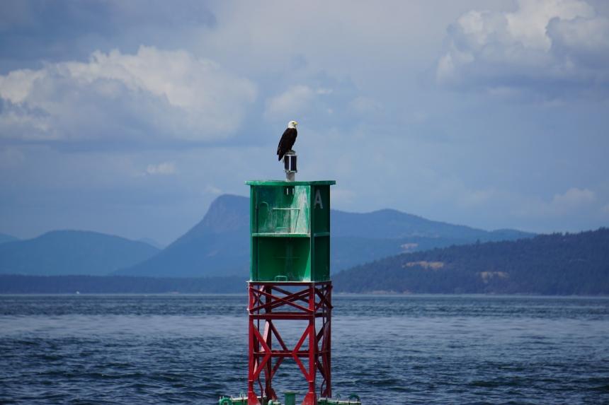 Bald Eagle on shipping buoy